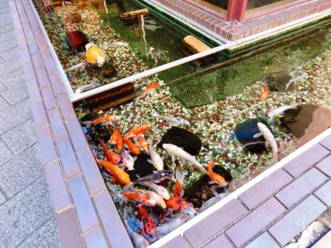 江山楼の鯉